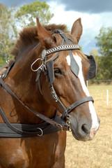 cheval de race cob attelé
