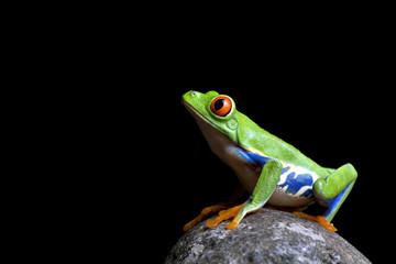 frog on rock isolated black