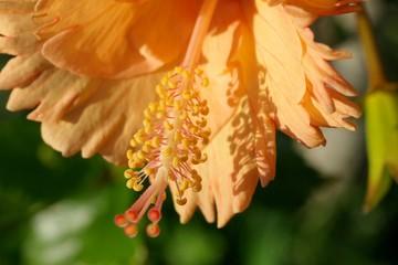 orange hybicus.
