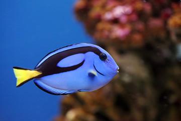 The beautiful fish-surgeon floats in an aquarium