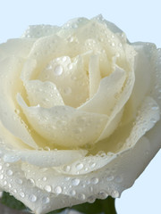 A white rose bud