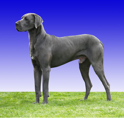 Great Dane with clipping path
