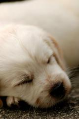 Puppy Labrador Dog Portrait
