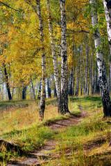 Spoed Foto op Canvas Berkbosje autumn forest