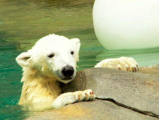 Baby ijsbeer in het water