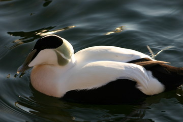 Eurpean Eider Duck at Swiss Lake
