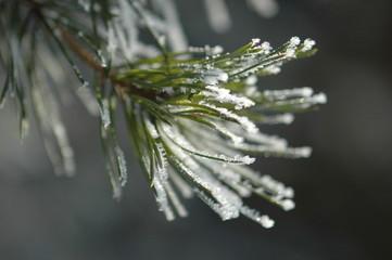 schneebedeckte Fichtennadeln