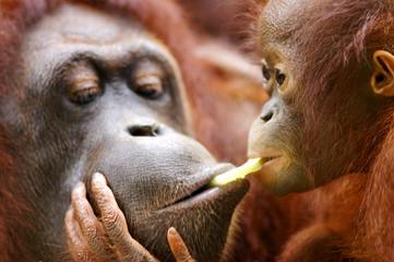 Papiers peints Singe Orangutans