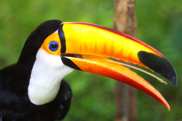 Poster Toekan Toco Toucans