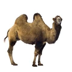 Photo sur Aluminium Chameau camel