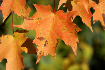 Orange Maple Leafs
