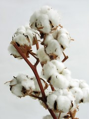twig of cotton