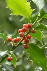 Ilex acquifolium, Holly