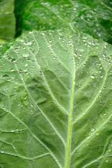 Green Cabage Leaf