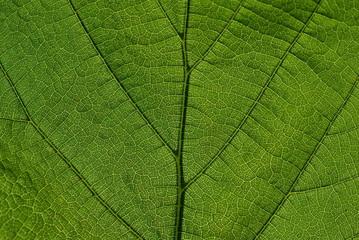 Gros plan sur feuille verte avec nervures