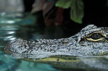 Poster Crocodile Krokodil - Kaiman