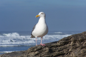 Seagull on Driftwood