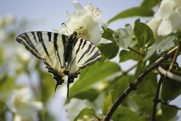 papillon butinant