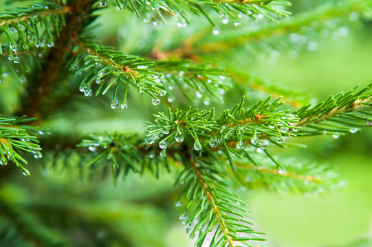the pine after rain