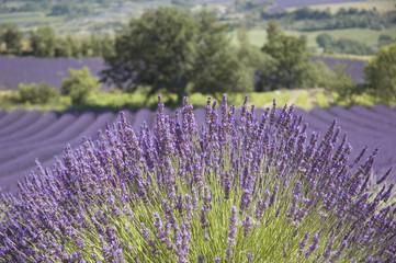 Printed roller blinds Lavender Arbre solitaire devant un champ de lavande Provençal