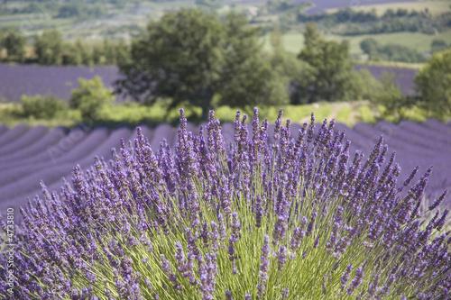 Arbre solitaire devant un champ de lavande proven al - Arbre provencal ...
