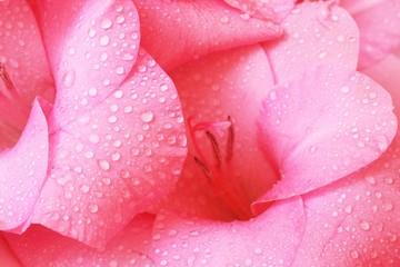 gladiolus close-up