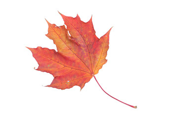 isolated red leaf