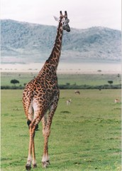 Girafe savane