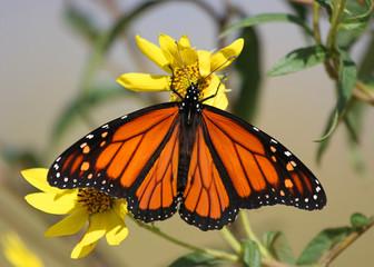 Fotoväggar - Monarch Butterfly on Yellow Flowers