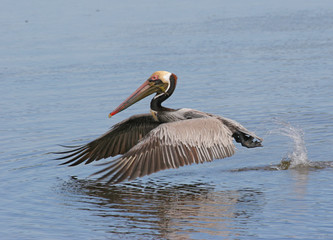 Fotoväggar - Brown Pelican in the Florida Everglades