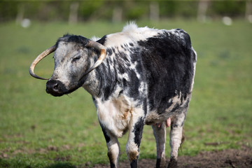 Elderly black and white cow with horns