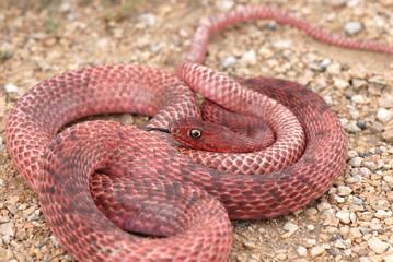 Red Coachwhip Snake