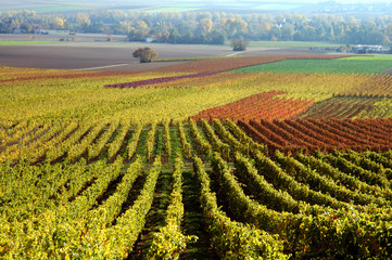 Vineyard. The Rhine Valley, Germany
