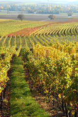 Vineyard, The Rhine Valley, Germany