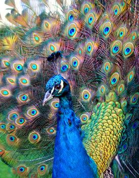 Beautiful colourful preening peacock