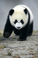 Autocollant pour porte Panda Giant Panda
