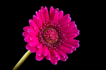 Pink gerber flower isolated on black