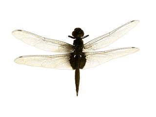 libellule sépia