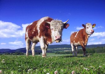 Two cow on pasture