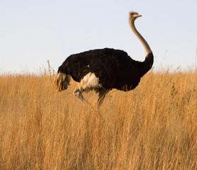 Grassland Ostrich