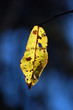 the last yellow leaf on a blue background