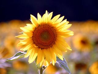 Goldene Sonnenblume