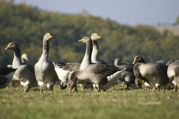 futurs foies gras