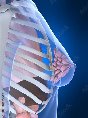 anatomie der weiblichen brust\