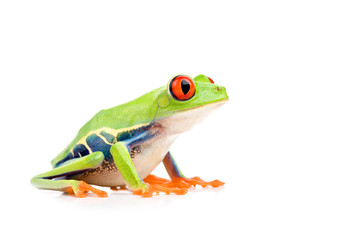 Foto auf AluDibond Frosch red-eyed tree frog isolated on white