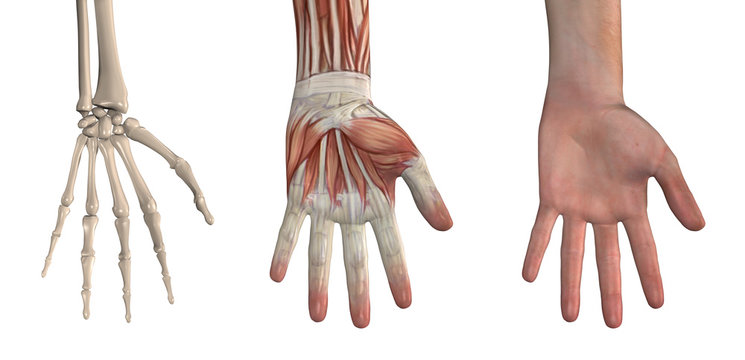 Anatomical Overlays - Hand