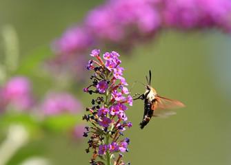 Fotoväggar - Hummingbird Moth (Common Clearwing)