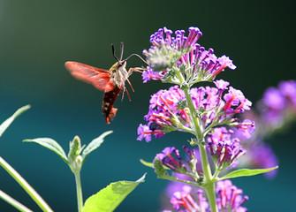 Fotoväggar - Common Clearwing Hummingbird Moth