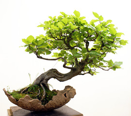 Papiers peints Bonsai Bonsai