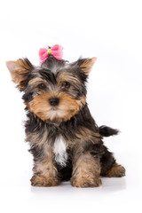 Yorkshire Terrier (York) puppy sitting on a white background.